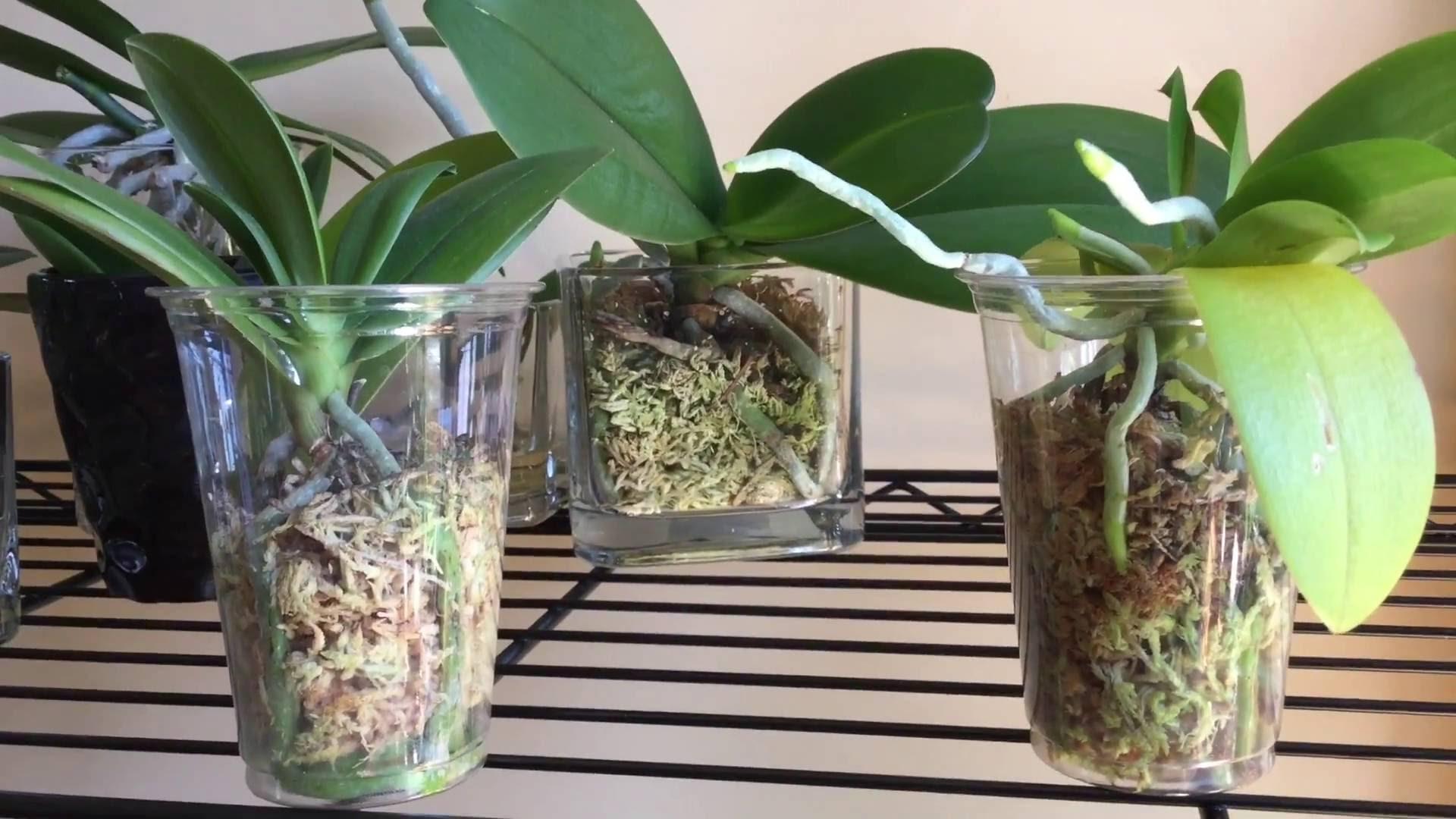 Сажать орхидею в стеклянный горшок 62