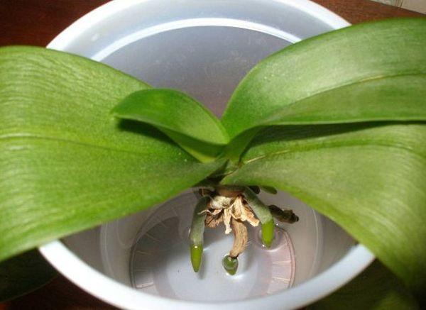 Способы наращивания корней у орхидей