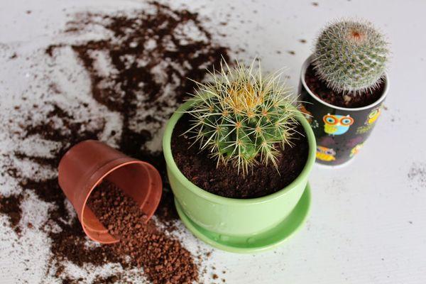 В какой грунт сажать кактусы 876