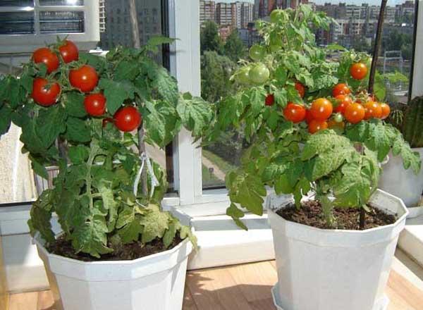 Зимнее выращивание томатов 64