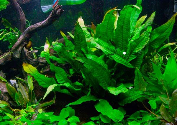 Как сажать папоротник в аквариум 34