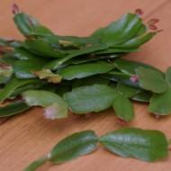 Цветок декабрист: уход в домашних условиях за кактусом