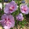 Восхитительный гибискус сирийский - описание цветка и его видов, правила ухода и размножения