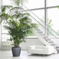 Саговая пальма уход в домашних условиях цикас революта