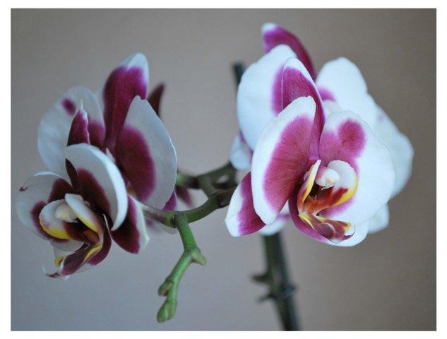 Орхидея Almeria