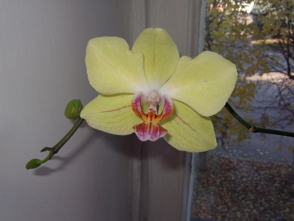 Вид орхидеи Amalfi