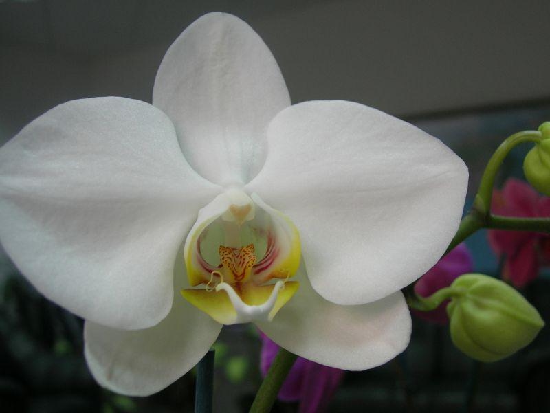 Орхидея вида Apple Blossom