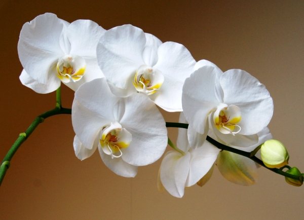 Белая комнатная орхидея имеет обычное строение
