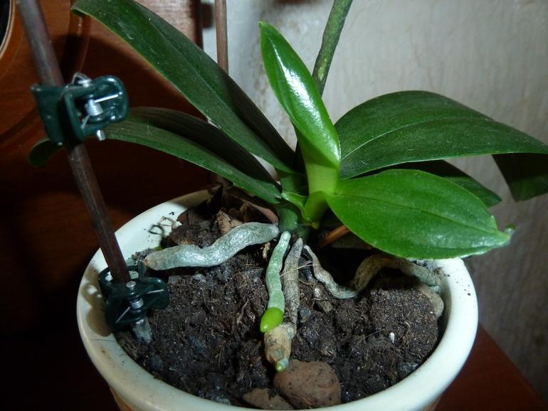 Отростки орхидеи называются детками
