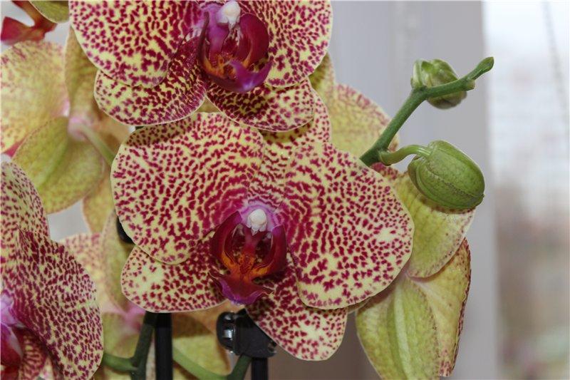 Орхидея вида Dragon's Charm