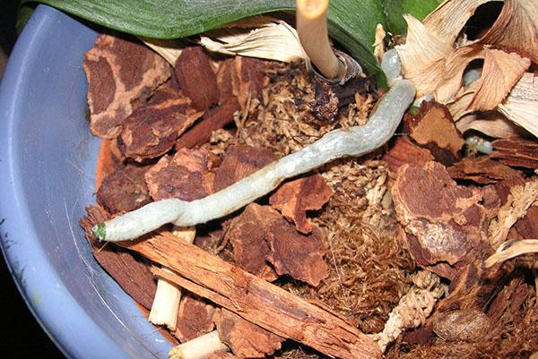 В качестве подкормки используют древесную кору и мох