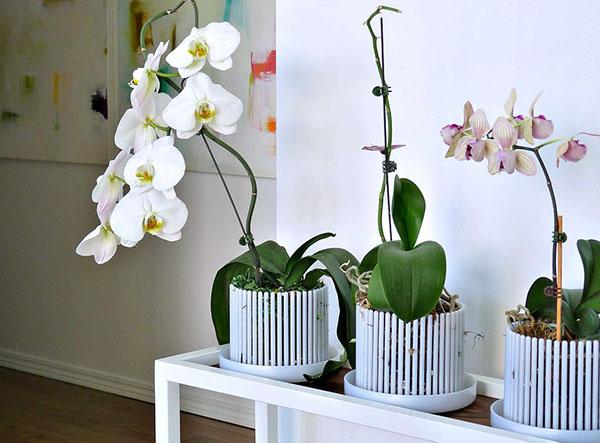 Горшок корона для орхидей