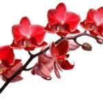 Как ухаживать за красной орхидеей