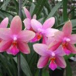 Уход за орхидеей Лиодоро