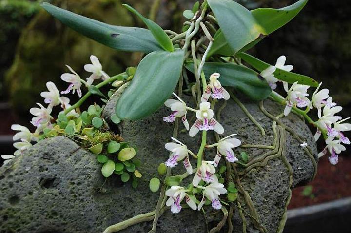 Литофитные орхидеи обитают на каменных выступах гор
