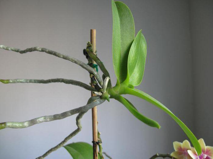 Новые почки свидетельствуют о скором цветении орхидеи