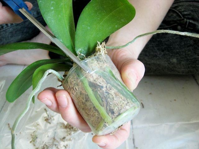 При пересадке орхидеи воспользуйтесь острыми ножницами