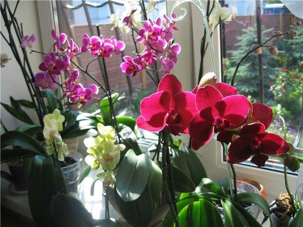 Нельзя ставить орхидею под прямые солнечные лучи