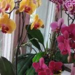 Где держать орхидею дома
