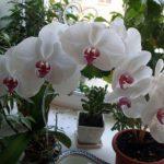 Выращивание орхидеи в домашних условиях
