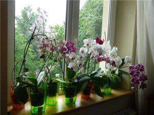 Орхидеи лучше ставить на подоконник
