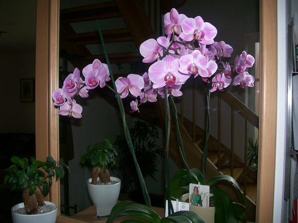 Для периода покоя орхидею лучше перенести в спокойное место