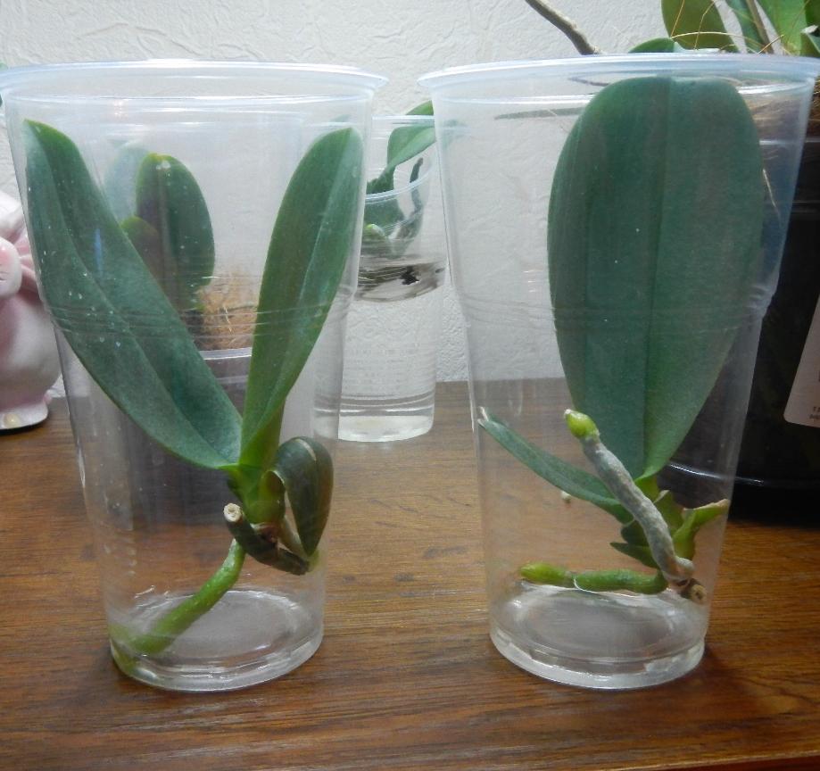 Для пересадки детки орхидеи потребуется прозрачная пластиковая емкость