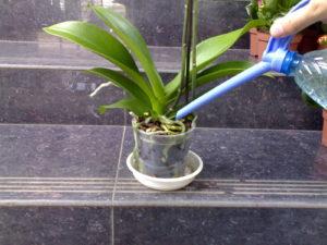 Соблюдайте особенности полива орхидеи