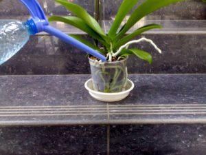 Для большого количества цветов обеспечьте орхидею водой