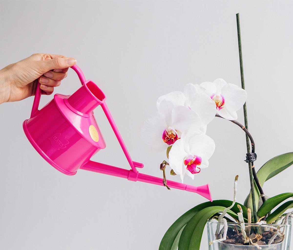 Данный вид орхидеи нуждается в умеренном поливе