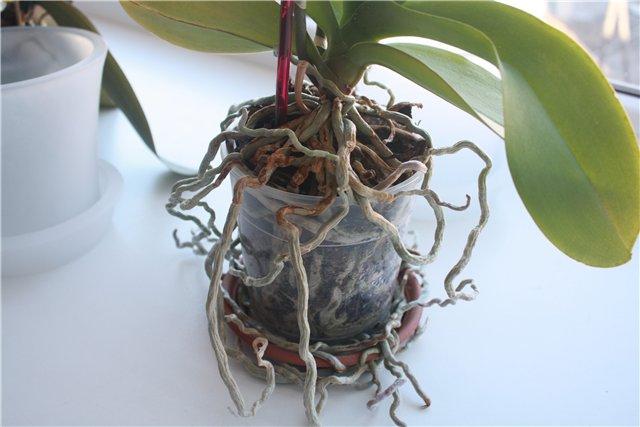 Причины разрастания корней орхидеи наружу