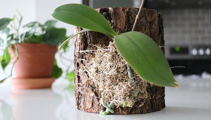 Разведение орхидеи на пеньке