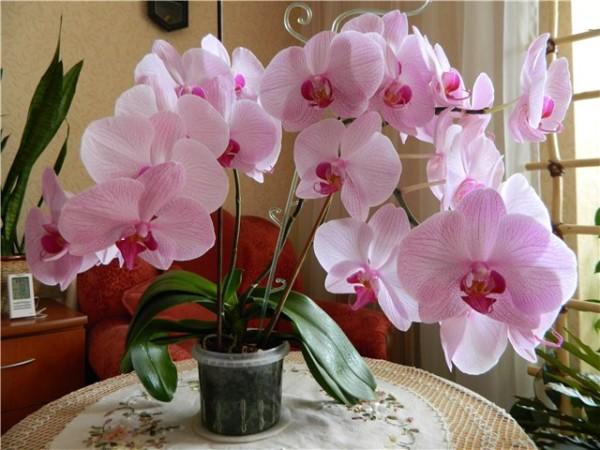 Розовые орхидеи в доме помогают бороться с депрессией