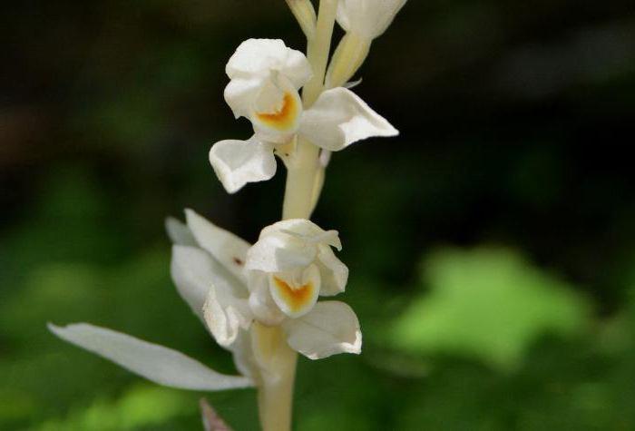Сапрофитная орхидея