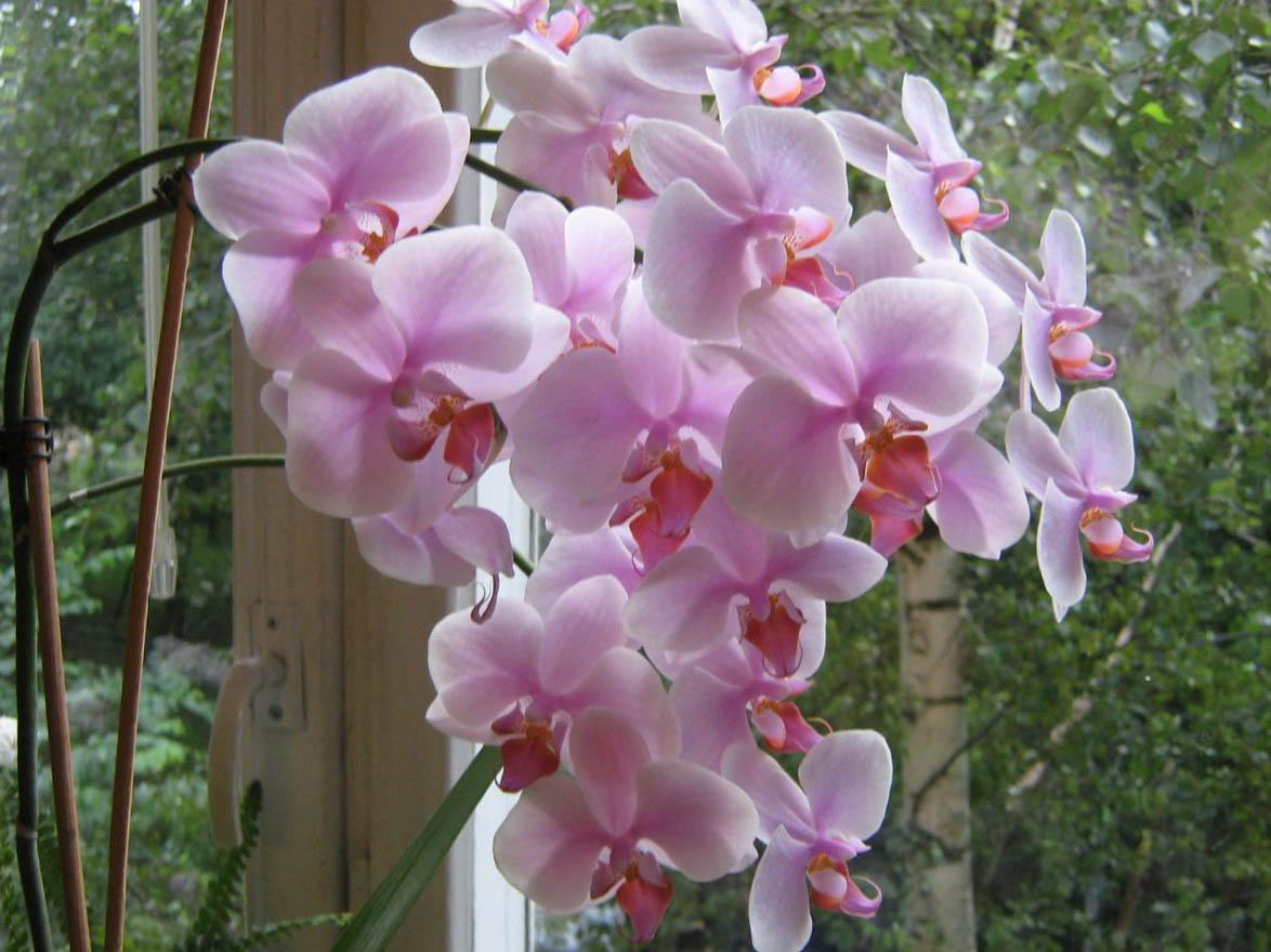 При выращивании розовой орхидеи следует уделить внимание температуре