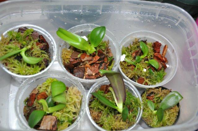Мини-теплица из мха-сфагнума для черенков орхидеи