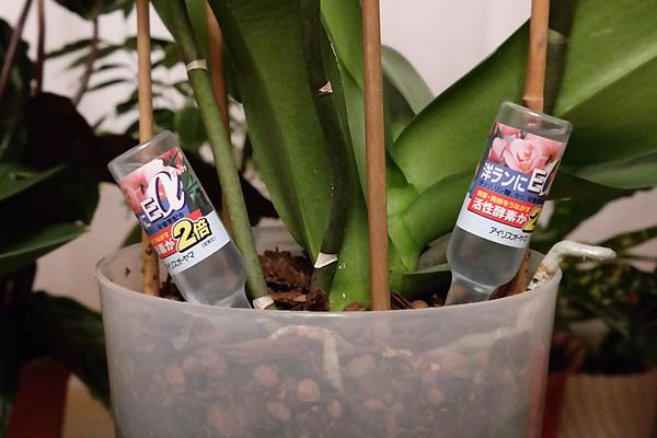 Внесение удобрений для здорового роста орхидеи