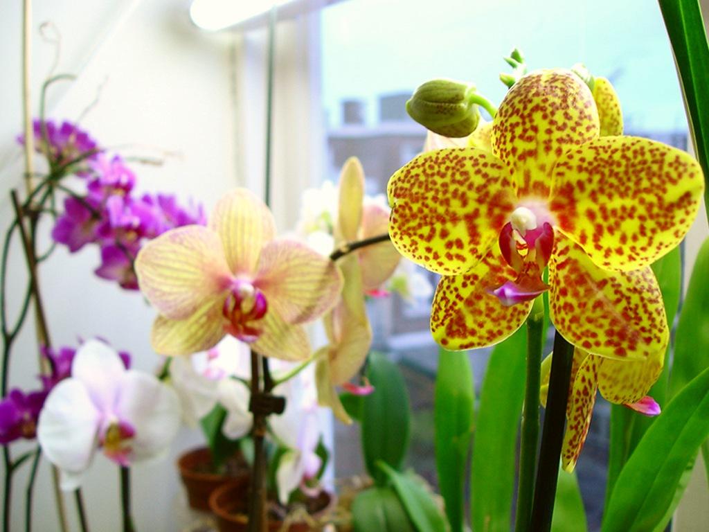Желтая орхидея обычно не нуждается в прямом и ярком свете