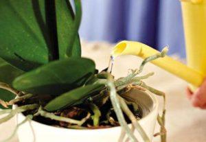 Полив орхидеи важен для ее здоровья