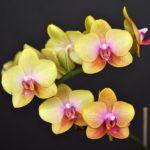 Желтая орхидея уход и содержание