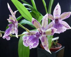 Орхидея Зигопеталум отлично подойдет для выращивания дома