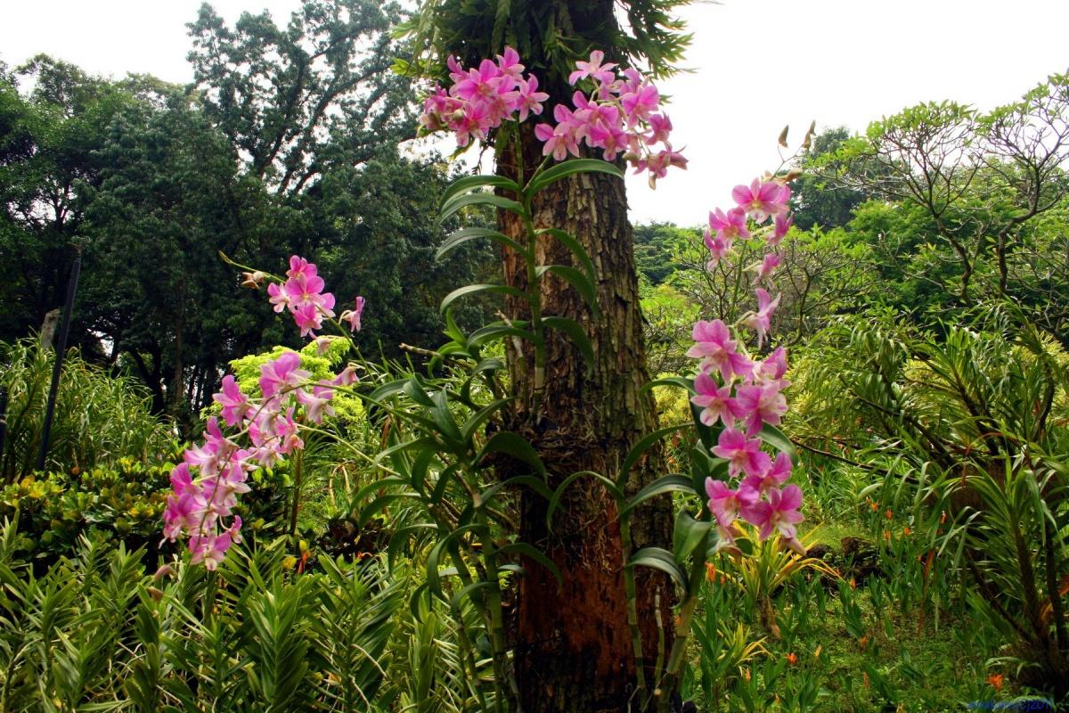 Эпифитные орхидеи