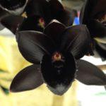 Черная орхидея не существует в природе