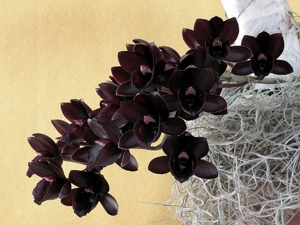 Черные орхидеи считаются уникальными царскими цветами