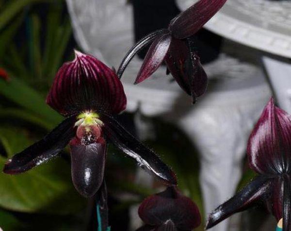 Для цветка очень опасны сквозняки и прямой солнечный цвет