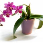 Орхидея требует к себе особого внимания