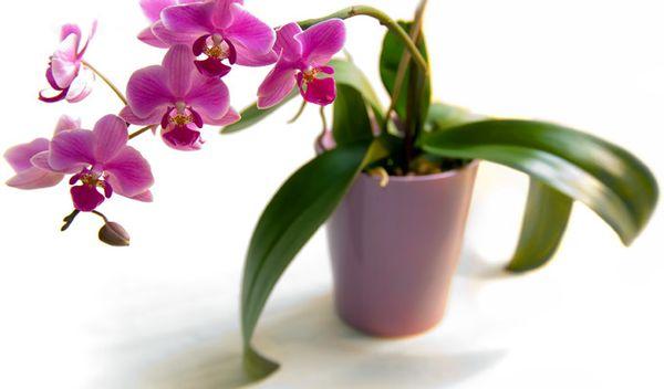 Орхидея может заразиться от домашних цветов
