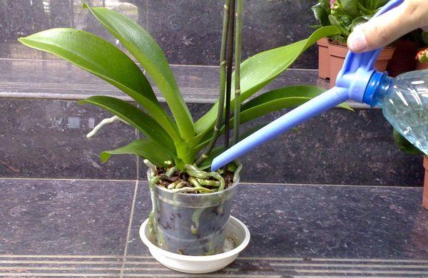 Не забывайте опрыскивать и поливать орхидею лечащими средствами