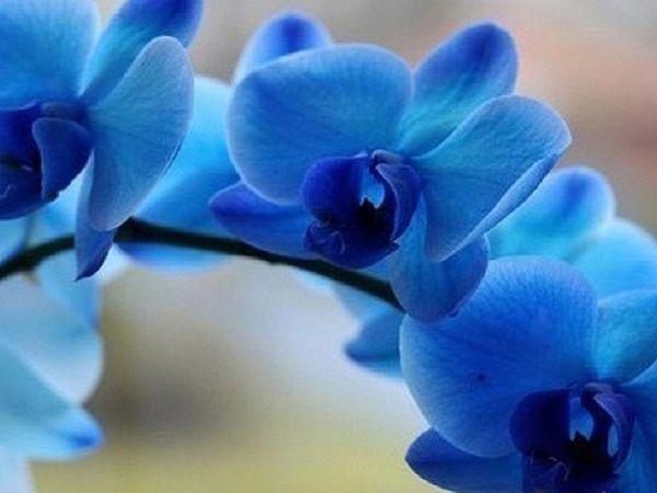 Biondoro, Black pearl, Блю, Будда, как выращивается орхидея, описание с фото