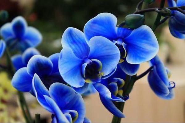 Синей орхидеи в мире не существует